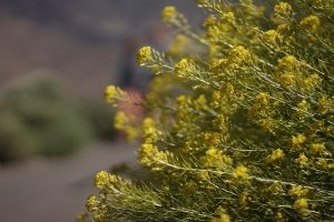 endemic flower teide
