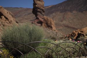 Endemic plant in Tenerife